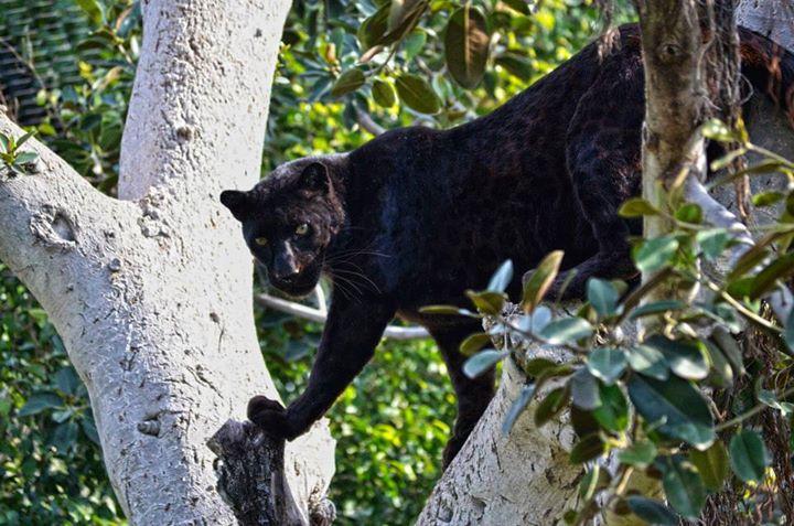 Habitat animal-pantera-malla de cables.