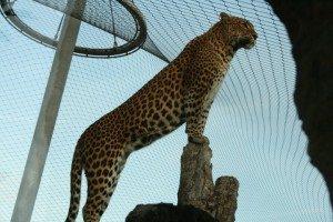 Hábitat animal-Tigre sobre roca.Malla de cables de acero X-TEND.